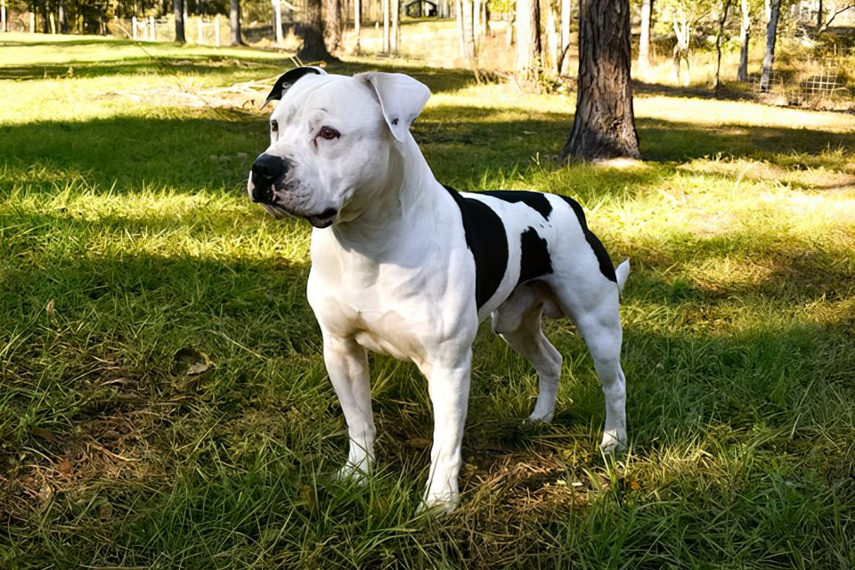 american bulldog standing